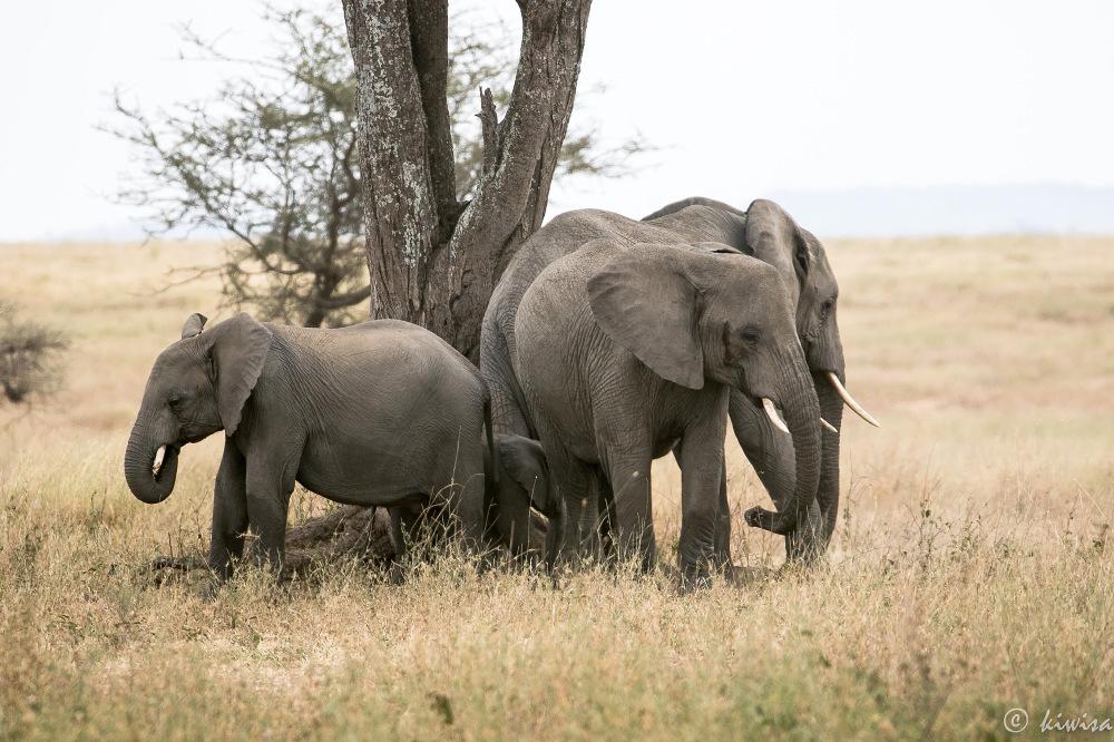 #38-Serengeti - Elephant huddle