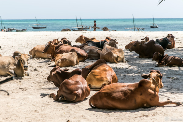 #19 Zanzibar- Nungwi beach cattle market