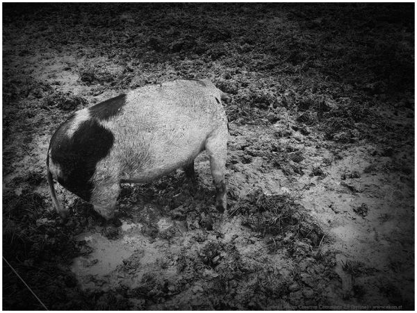 Pig contrast texture