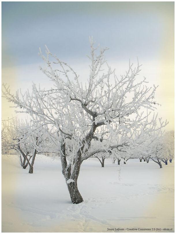 Apple tree in the winter