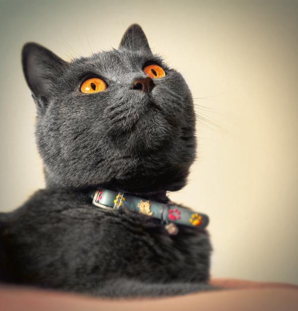 Carthusian cat