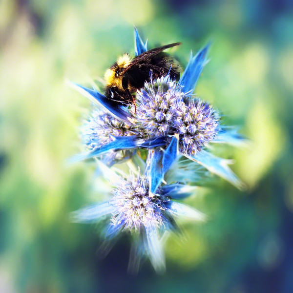 bumblebee on blue thistle