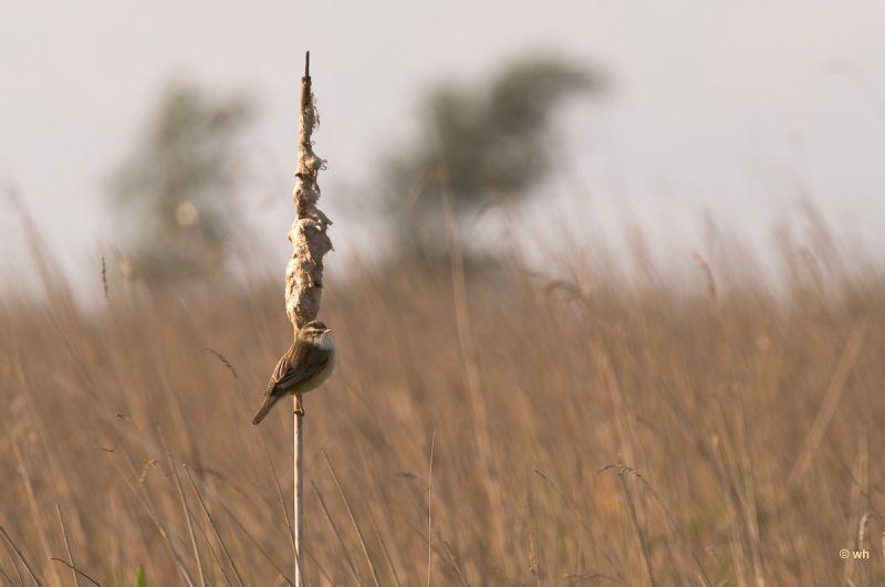Rietzanger,  Acrocephalus schoenobaenus