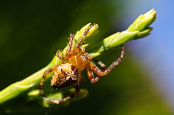 Kruisspin,  Araneus diadematus