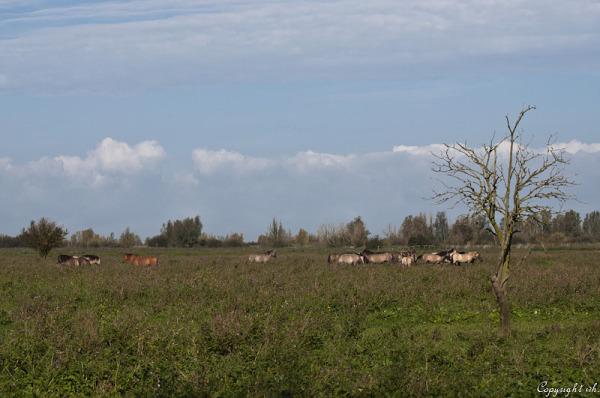 Oostvaardersplassen  (Flevoland)