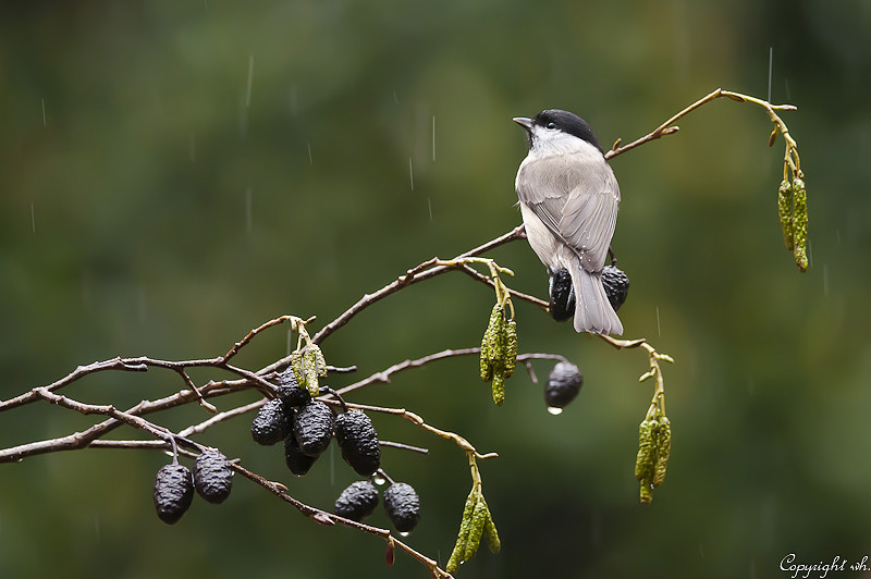 Glanskop in de regen