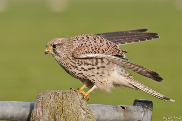 Geland..........Torenvalk, Falco tinnunculus