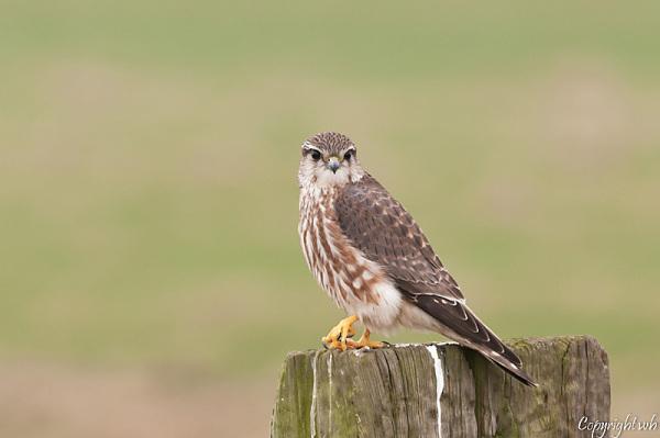 Smelleken,  Falco columbarius