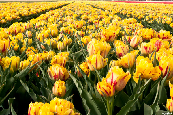 Tulpen ,  Tulipa