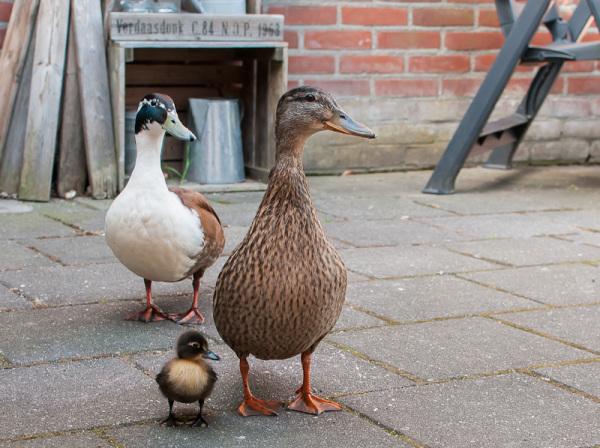 Familie Eend