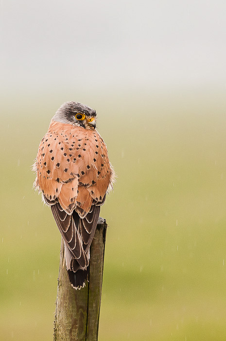 Aminus3 Featured photo Torenvalk,  Falco tinnunculus in de regen | 5 May 2012