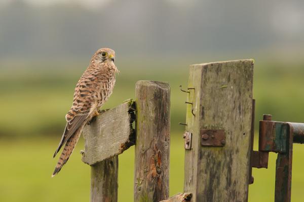 Torenvalk,  Falco tinnunculus  (Vrouwtje)