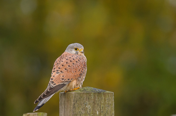 Torenvalk,  Falco tinnunculus  (mannetje)
