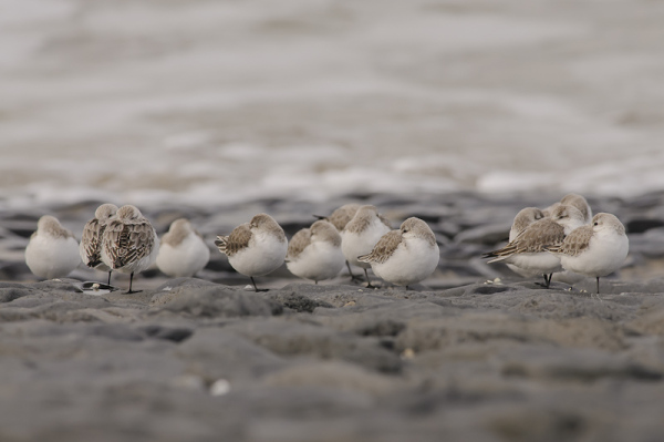 Drieteenstrandlopers,  Calidris alba
