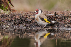 Putter of distelvink,  Carduelis carduelis