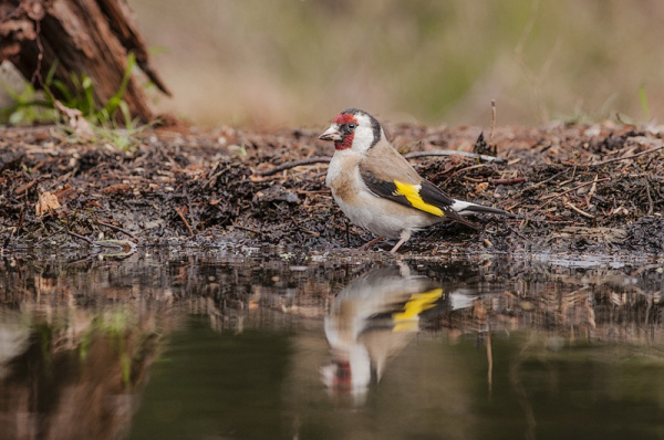 Aminus3 Featured photo Putter of distelvink,  Carduelis carduelis | 1 July 2013