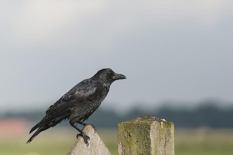 Zwarte kraai,  Corvus corone