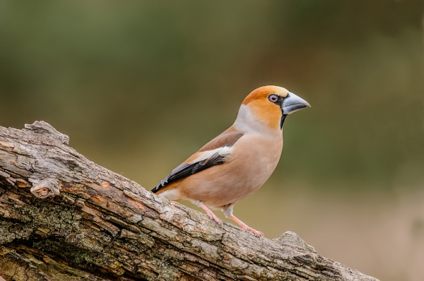 Appelvink,  Coccothraustes coccothraustes