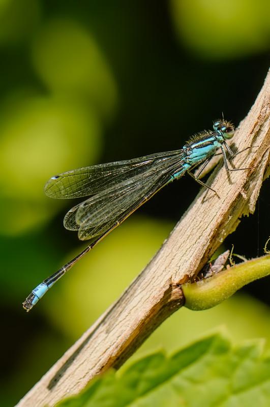 Lantaarntje,  Ischnura elegans