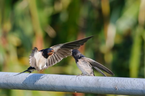 Zwaluwen,  Hirundinidae