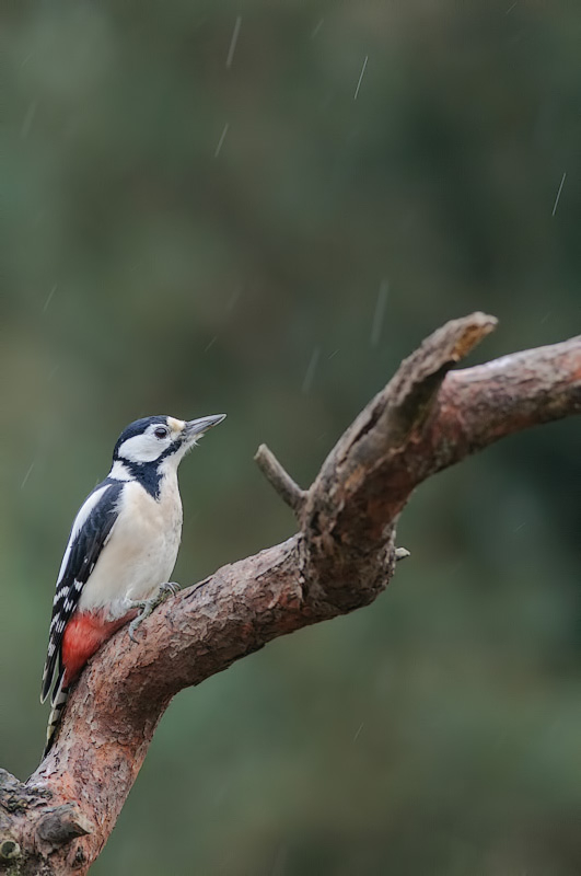 Woodpecker in the rain (Female) 1/2