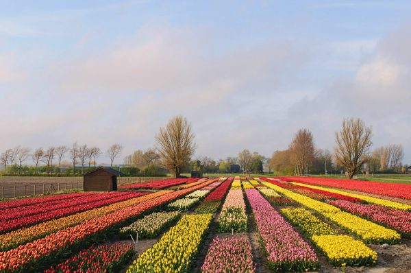 Fields of tulips