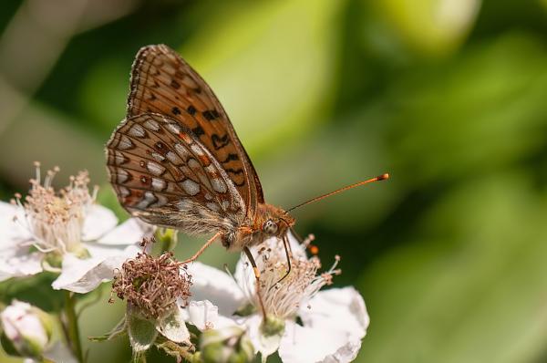 Duinparelmoervlinder,  Argynnis niobe