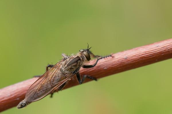 Roodbaardroofvlieg,  Eutolmus rufibarbis