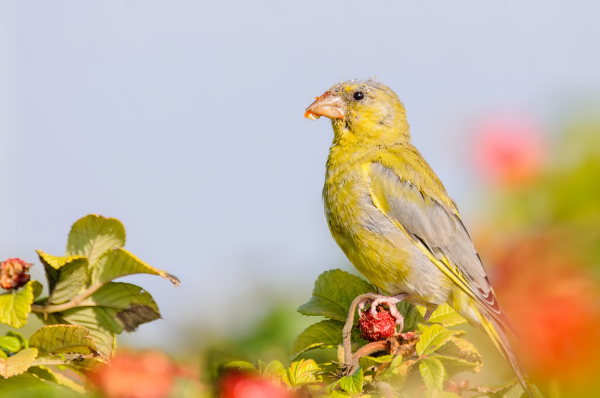 Aminus3 Color Featured photo Groenling, Carduelis chloris | 13 September 2015