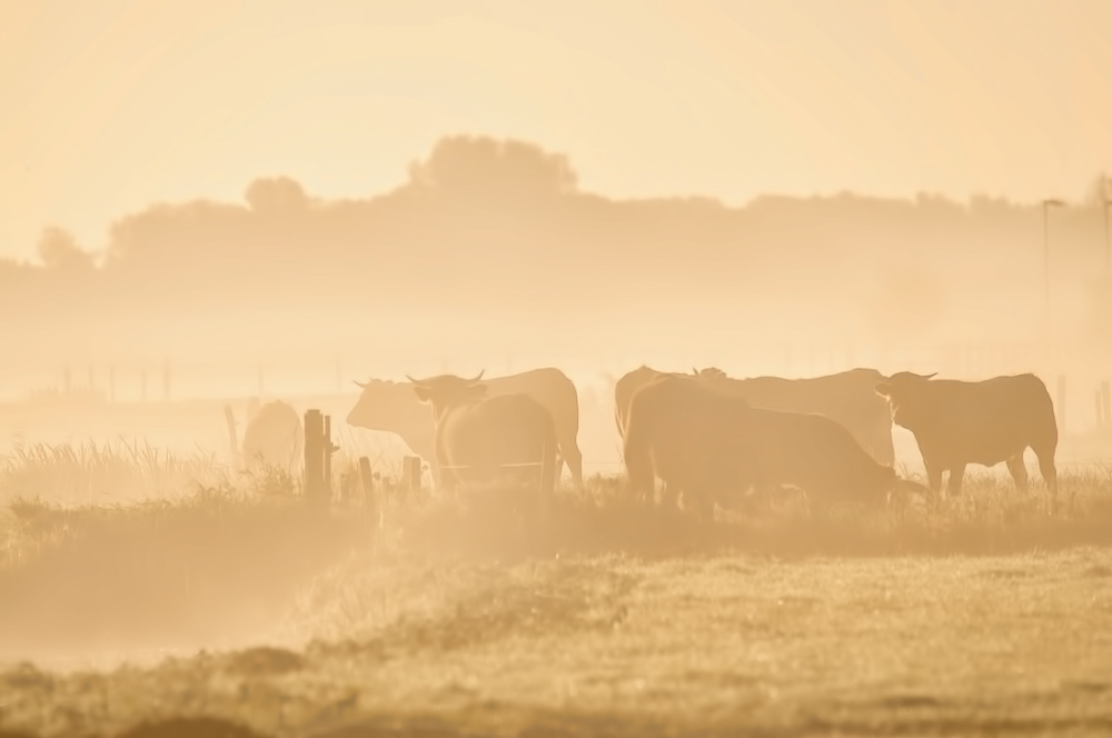 Cows in the early morning