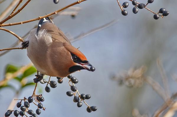 Pestvogel,  Bombycilla garrulus