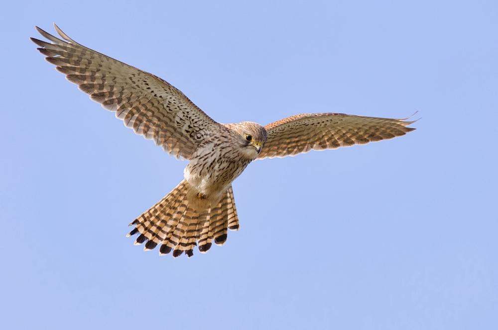 Torenvalk,  Falco tinnunculus