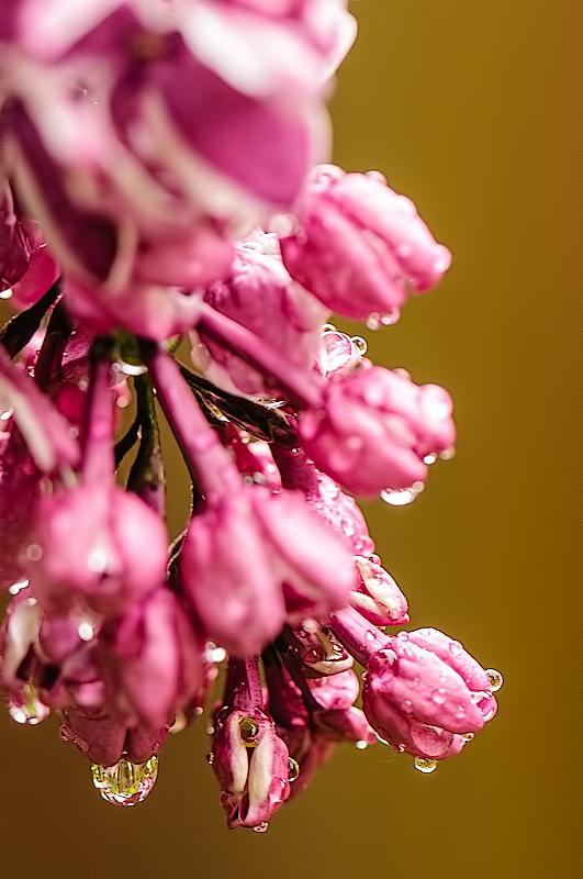 Sering,  Syringa vulgaris (detail foto)