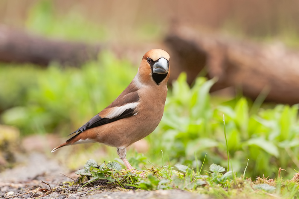 Appelvink, Coccothraustes coccothraustes (male)