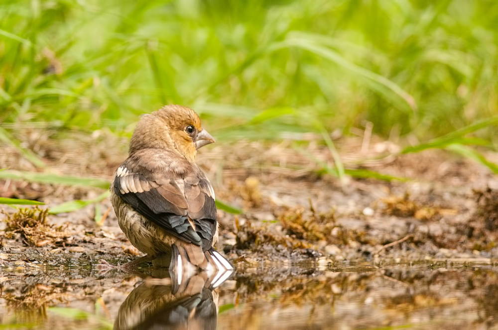 Appelvink,Coccothraustes coccothraustes (juveniel)
