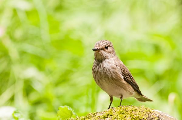 Grauwe vliegenvanger,  Muscicapa striata