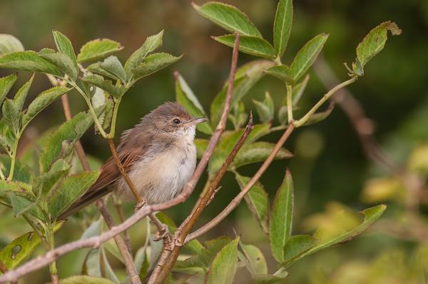 Grasmus,  Sylvia communis  (Juvenile)