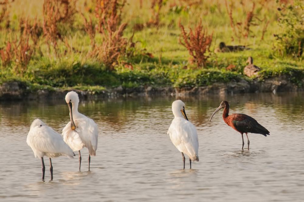 Lepelaars ---- Zwarte ibis
