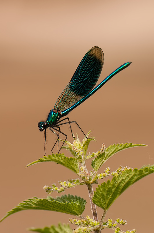 Weidebeekjuffer,  Calopteryx splendens