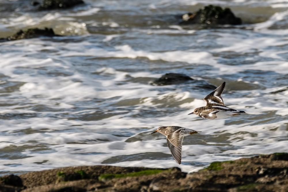 Steenloper - Paarse strandloper