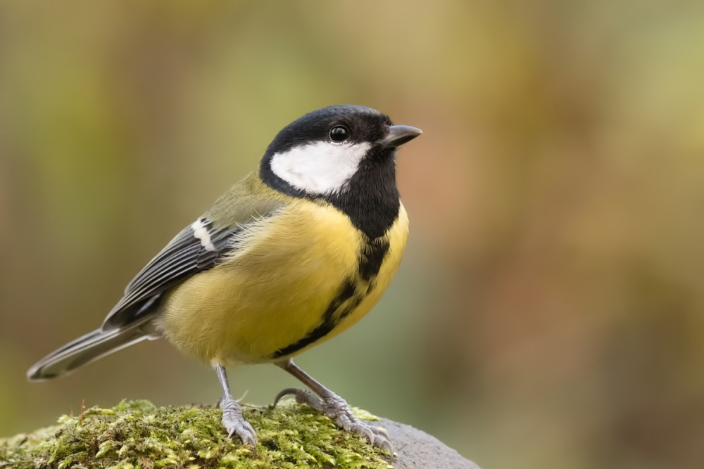Koolmees,  Parus major