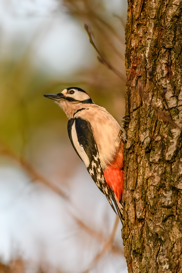 Great spotted woodpecker in the evening sun