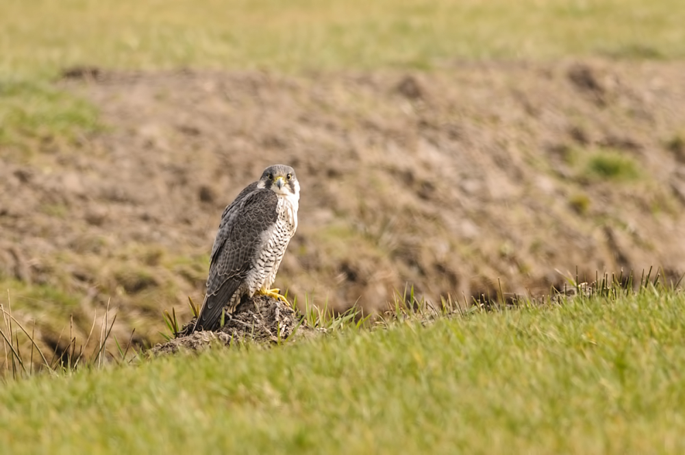 Slechtvalk,  Falco peregrinus