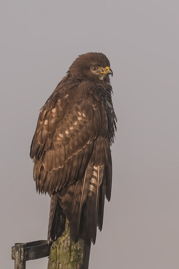 Buzzard after rain