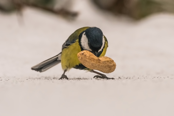 The Powerlifter -  Koolmees,  Parus major