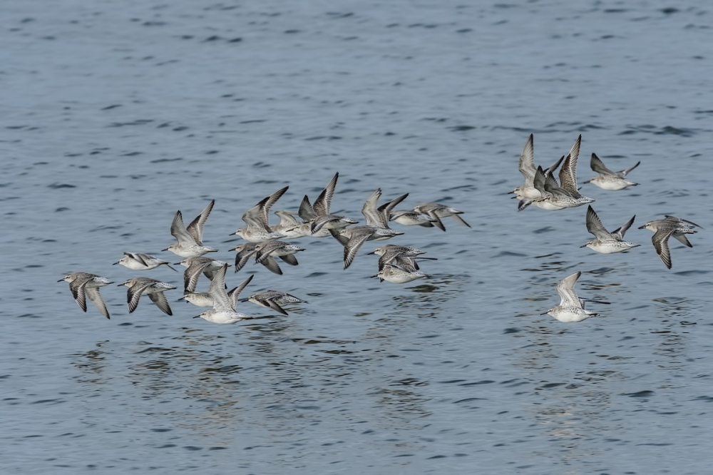 Kanoetstrandlopers,  Calidris canutus