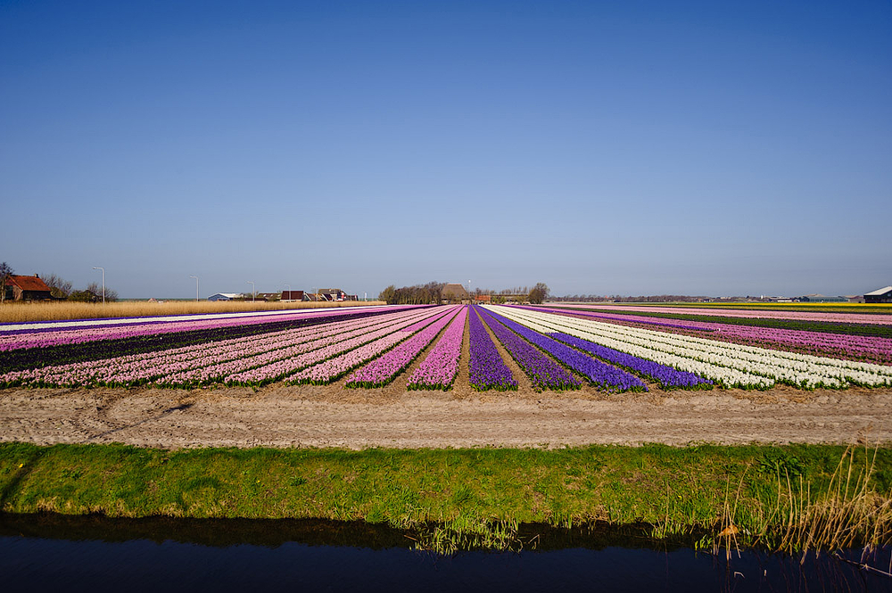 A field hyacinths,  Hyacinthus orientalis