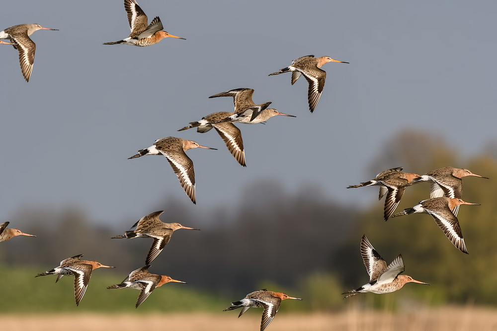Grutto's,   Limosa limosa