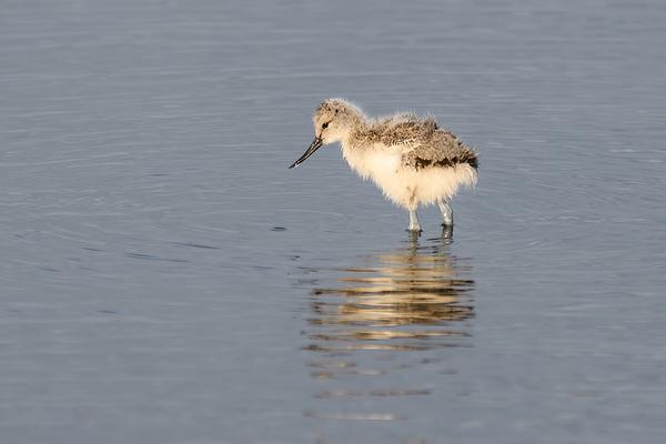 Kluut,  Recurvirostra avosetta  (Juveniel)