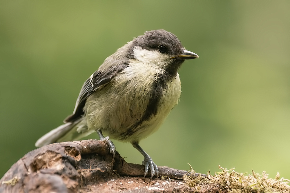 Koolmees,  Parus major  (Juveniel)
